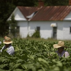 Carolina Sweet Tobacco